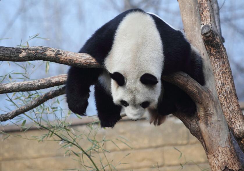 """浙江省杭州市,杭州野生动物世界里的大熊猫""""丽丽""""趴在树枝上睡觉,高难度的睡姿吸引了很多游客驻足围观。只要天气好,每天午后,丽丽就喜欢爬上树嬉戏玩耍,然后睡觉,还会变换各种萌态的睡姿,可爱极了。人在江湖飘,谁能不挨刀。本就是身不由己,走在路上好好的,稍有不慎就客死异乡。如果你厌倦了刀光剑影的日子,想要寻找一个安静的地方小憩片刻,回归自然的话,culaiwan《七杀》中有些地方可以一去哦!"""